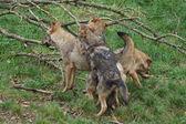 Iberian Wolf - Canis lupus signatus — Stock Photo