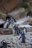 Magellanic Penguin - Spheniscus magellanicus — Stock Photo