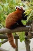 Panda-vermelho - ailurus fulgens — Fotografia Stock