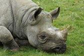 Eastern Black Rhinoceros - Diceros bicornis michaeli — Stock Photo