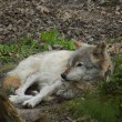 Grey Wolf - Canis lupus — Stock Photo #76603047