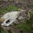 Grey Wolf - Canis lupus — Stock Photo #76603059