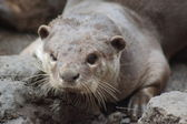 Smooth-coated Otter - Lutrogale perspicillata — Stock Photo