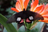 True Cattleheart - Parides arcas — Stock Photo