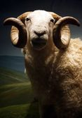 White-faced Woodland Sheep Ram - Ovis aries — Stock Photo