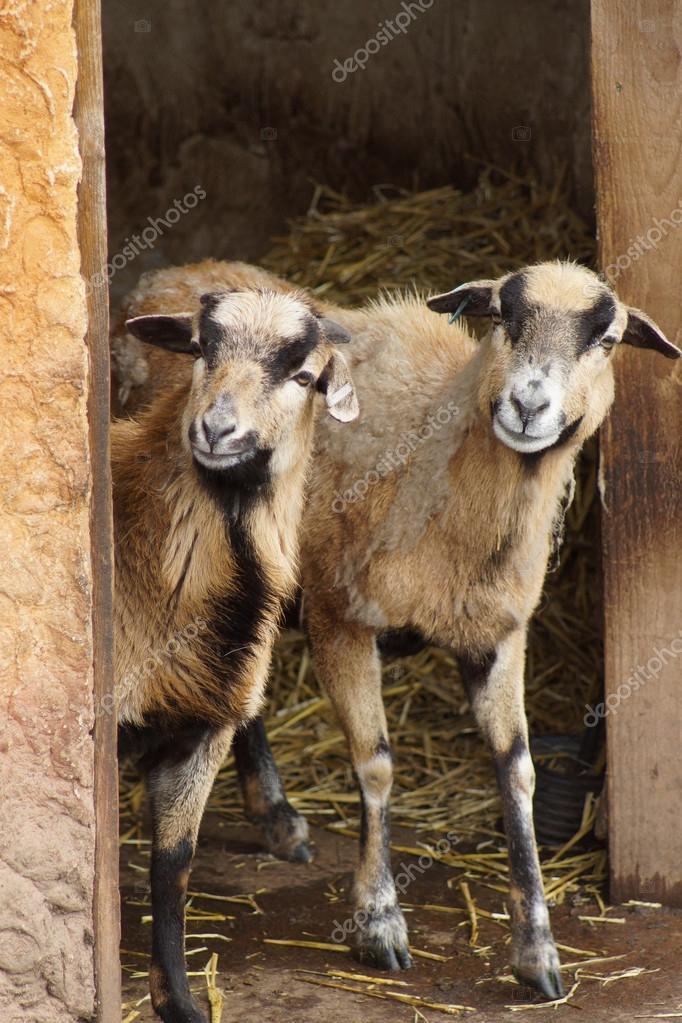 Delle pecore del cameroun ovis aries foto stock for Piani di progettazione domestica