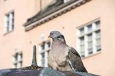 Urban Dove — Stock Photo