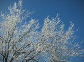 Snow clinging to trees — Stockfoto