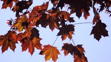 Autumn Leaves on Tree — Stock Video