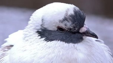 Pigeon — Stock Video