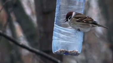 Sparrows Eating from the Feeder — Stock Video
