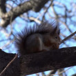 Squirrel  Eating Walnut. — Stock Video #61835557