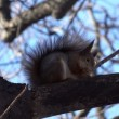 Squirrel  Eating Walnut. — Stock Video #61835773