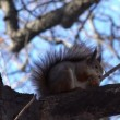 Squirrel  Eating Walnut. — Stock Video #61835983