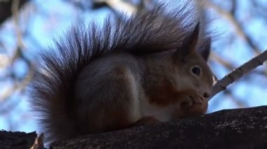 Squirrel  Eating Walnut. — Stock Video