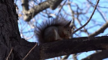 Squirrel  Eating Walnut. — Stock Video