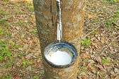 Milk of rubber tree, Thailand — Stock Photo