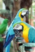 Colourful parrot birds — Stock Photo