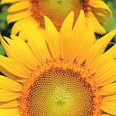 Closeup of Sunflower — Stock Photo