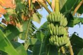 Kilka bananów na drzewo. — Zdjęcie stockowe