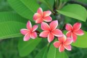 Exotic frangipani flower (plumeria) — Stock Photo