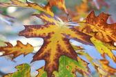 Oak autumn leaves — Stock Photo