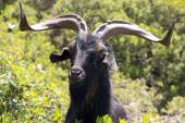 Black goat — Stock Photo