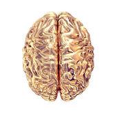 Golden brains on white background. — Stock Photo