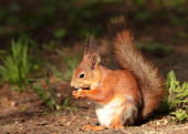 A squirrel eating the nut — Stock Photo