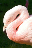 Rosy flamingo  — Stock Photo