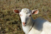 White goat on a summer pasture — Stock Photo