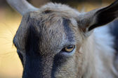 Portrait of a funny goat looking to  camera — Stock Photo