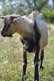 Funny goat's portrait on a green sunny meadow background — ストック写真