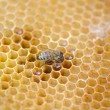 Bees work on honeycomb — Stock Photo #55913233