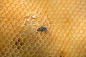 Fly work on honeycomb — Stock Photo