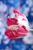 Red tulips on blue and white background — Stock Photo