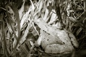 Frog in grass — Foto Stock