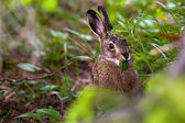 Hare eats plants — Stock Photo