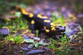 Fire salamander, poisonous animal that lives in Europe — Stock Photo
