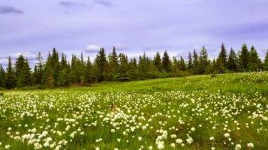 Flowering plants on green meadow in Romanian Carpathians. Marmarosy. Time Lapse. — Stock Video