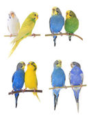 Colorful budgerigars — Stock Photo
