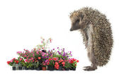Colorful flover and  hedgehog — Stock Photo