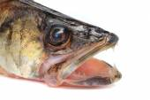 Large pike perch — Stock Photo