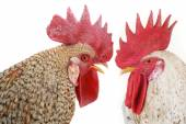 Two cocks — Stock Photo