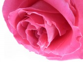 Pink rose bloom — Stock Photo