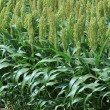 Sorghum or Millet field — Stock Photo #67234319