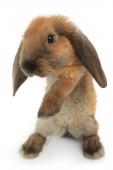 Flauschige Kaninchen stehend — Stockfoto