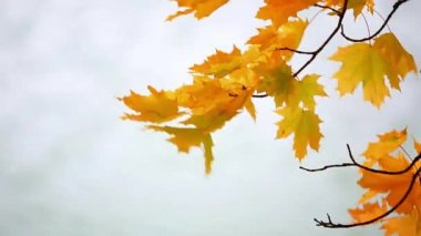 Maple leaves over river — Stock Video