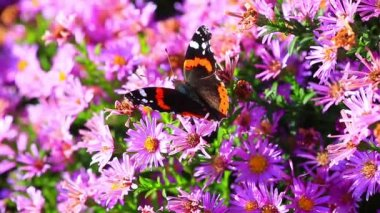 Butterfly on a pink of flowers — Stock Video