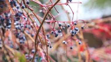 First autumn frosts on berries — Stock Video